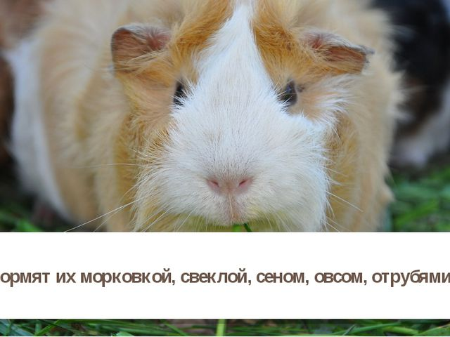 Кормят их морковкой, свеклой, сеном, овсом, отрубями.