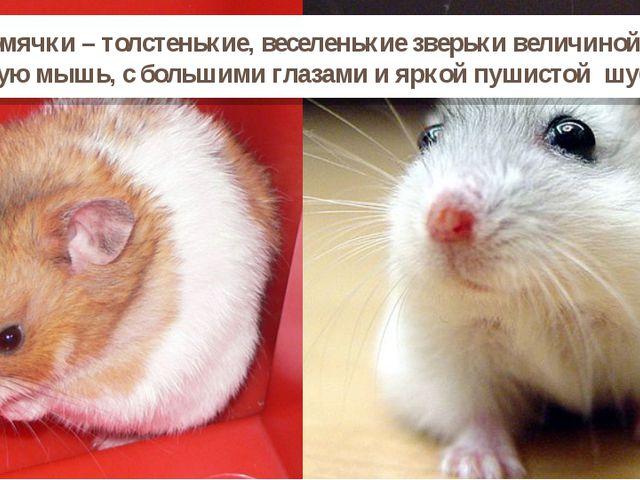 Хомячки – толстенькие, веселенькие зверьки величиной с крупную мышь, с больши...