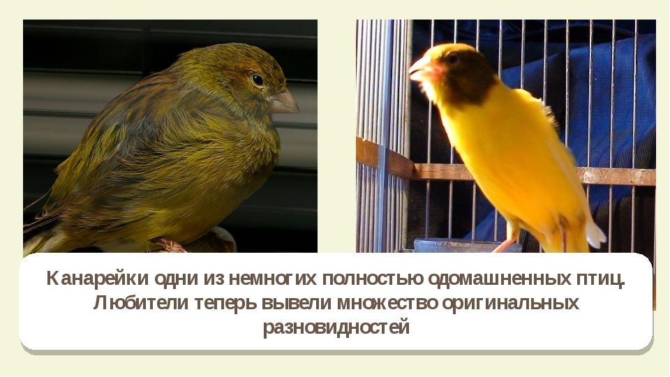 Канарейки одни из немногих полностью одомашненных птиц. Любители теперь вывел...