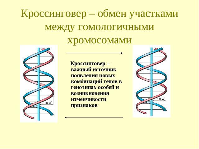 Кроссинговер – обмен участками между гомологичными хромосомами Кроссинговер –...