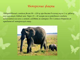 Интересные факты Новорождённый слонёнок весит 90—120 кг при высоте в плечах о