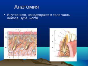 Анатомия Внутренняя, находящаяся в теле часть волоса, зуба, ногтя.