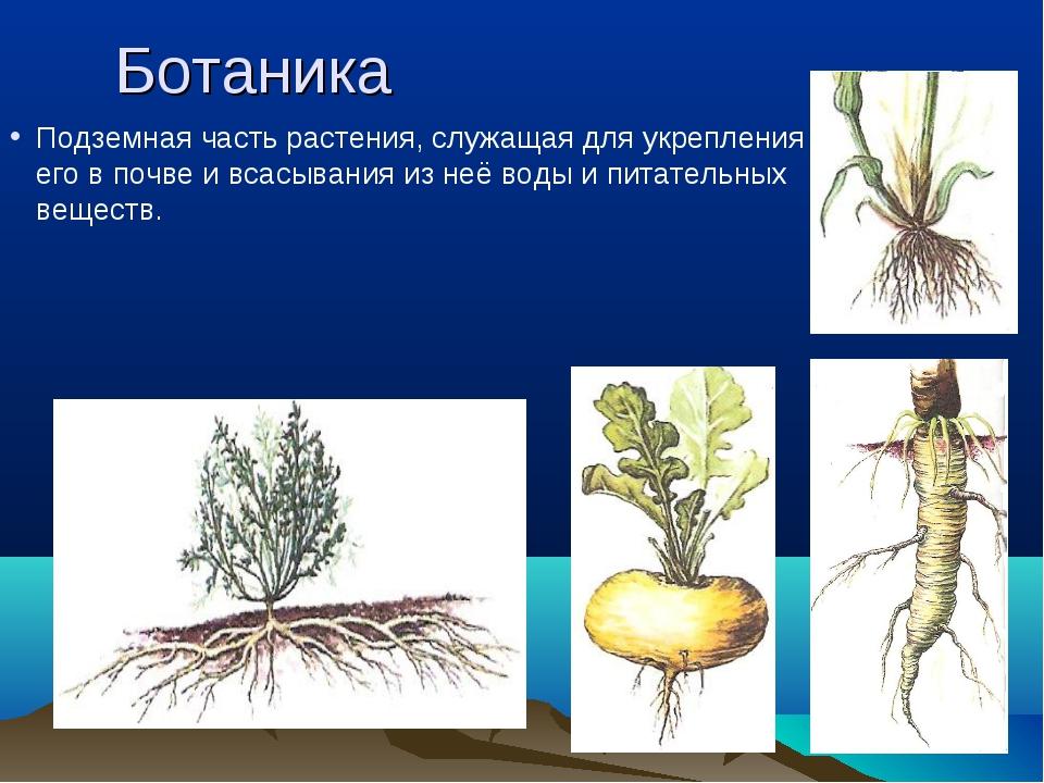 Ботаника Подземная часть растения, служащая для укрепления его в почве и всас...
