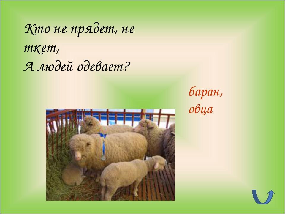 Кто не прядет, не ткет, А людей одевает? баран, овца