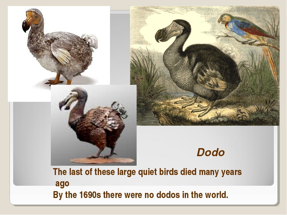 Dodo The last of these large quiet birds died many years ago By the 1690s the...