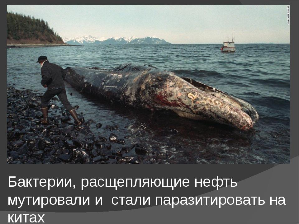 Бактерии, расщепляющие нефть мутировали и стали паразитировать на китах