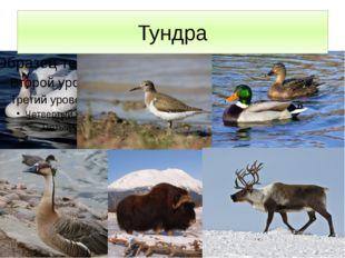 Тундра Тундра – обширное пастбище для северных оленей, без которых трудно себ