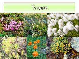Тундра Растительность представлена: мелкие кустарнички, травянистые многолетн