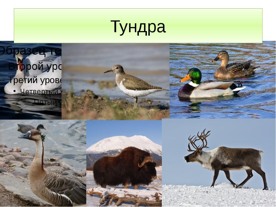 Тундра Тундра – обширное пастбище для северных оленей, без которых трудно себ...