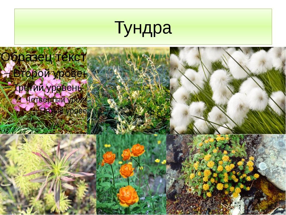 Тундра Растительность представлена: мелкие кустарнички, травянистые многолетн...