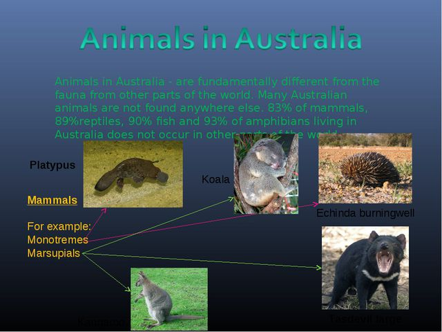 Animals in Australia - are fundamentally different from the fauna from other...