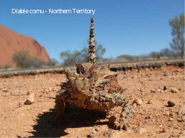 Diable cornu - Northern Territory