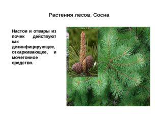 Растения лесов. Сосна Настои и отвары из почек действуют как дезинфицирующее