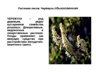 Растения лесов. Черёмуха обыкновенная ЧЕРЕМУХА – род деревьев, редко кустарн