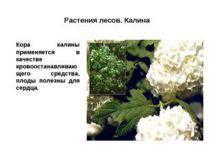 Растения лесов. Калина Кора калины применяется в качестве кровоостанавливающ