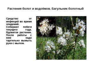 Растения болот и водоёмов. Багульник болотный Средство от инфекций во время
