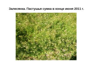 Залесянка. Пастушья сумка в конце июня 2011 г.