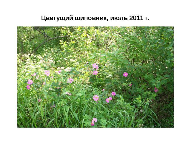 Цветущий шиповник, июль 2011 г.