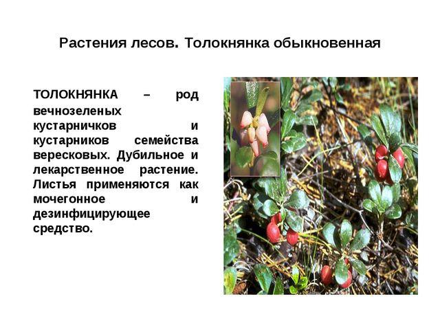 Растения лесов. Толокнянка обыкновенная ТОЛОКНЯНКА – род вечнозеленых кустар...