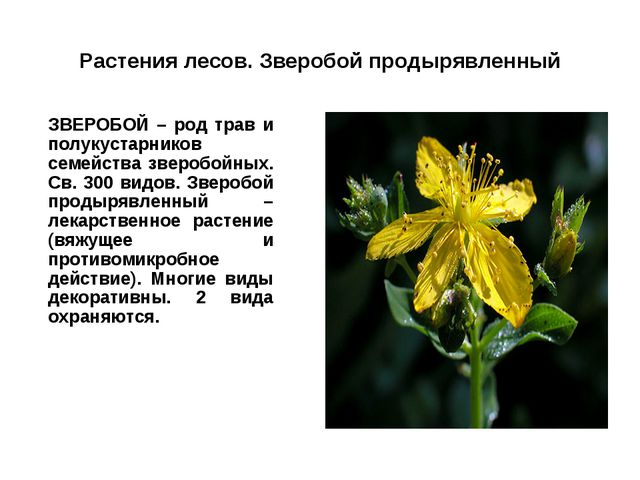 Растения лесов. Зверобой продырявленный ЗВЕРОБОЙ – род трав и полукустарнико...