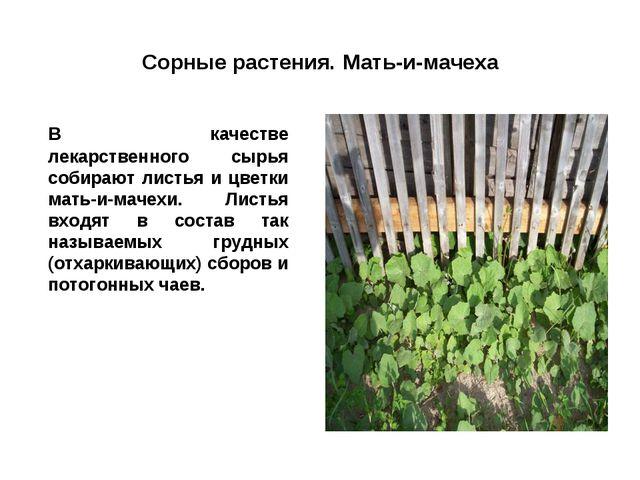 Сорные растения. Мать-и-мачеха В качестве лекарственного сырья собирают лист...