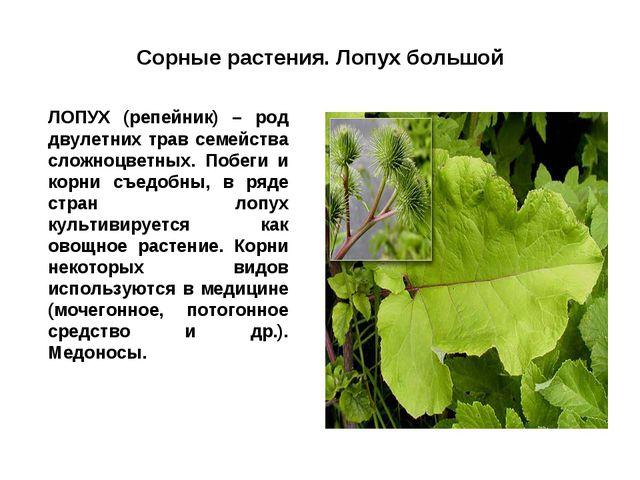Сорные растения. Лопух большой ЛОПУХ (репейник) – род двулетних трав семейст...
