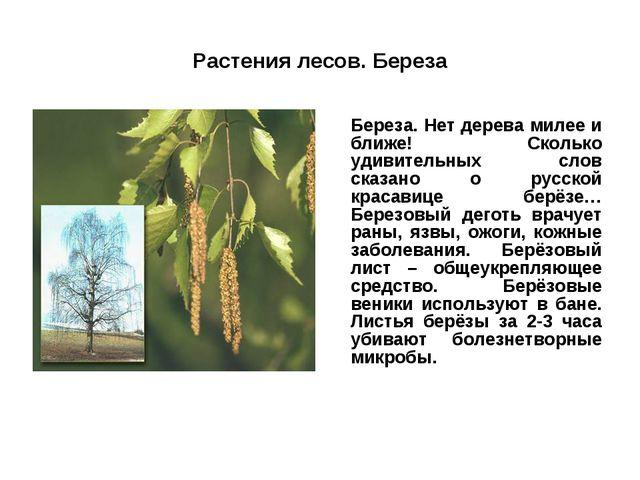 Растения лесов. Береза Береза. Нет дерева милее и ближе! Сколько удивительны...