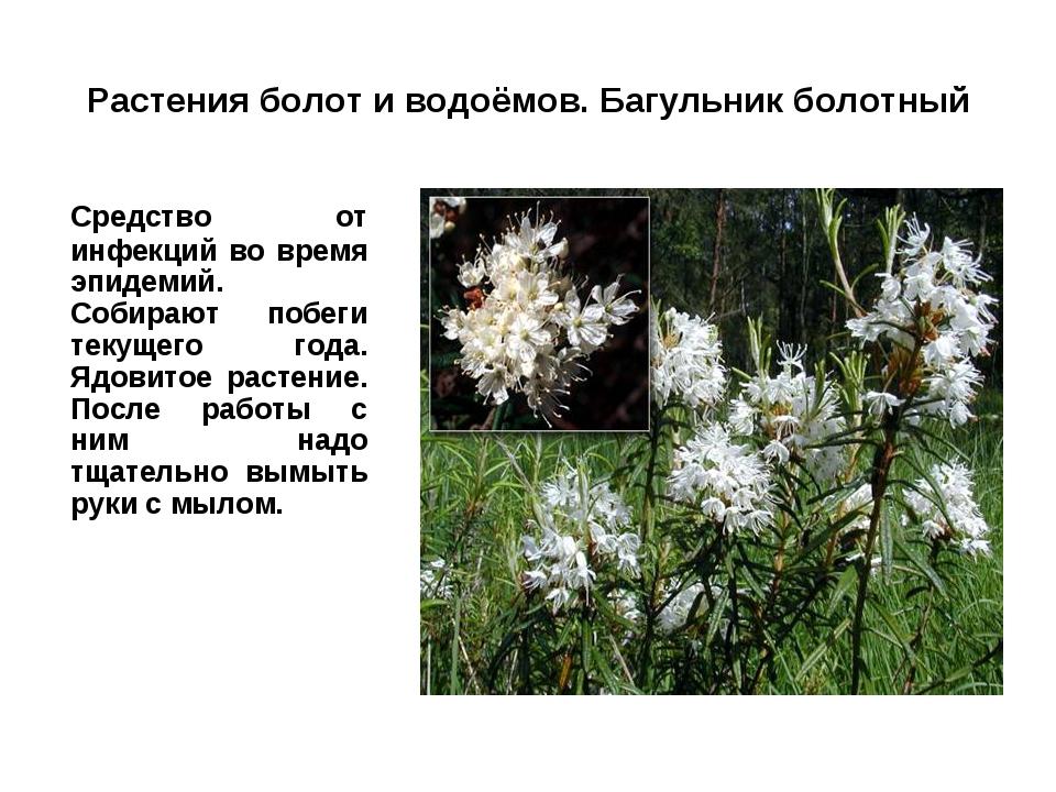 Растения болот и водоёмов. Багульник болотный Средство от инфекций во время...