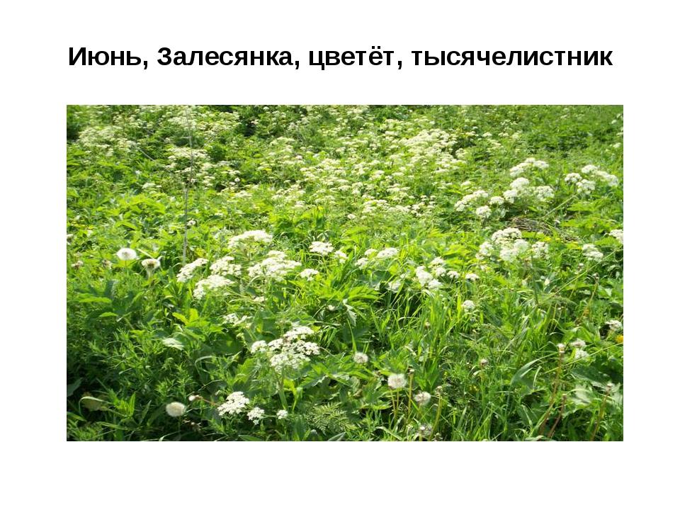 Июнь, Залесянка, цветёт, тысячелистник