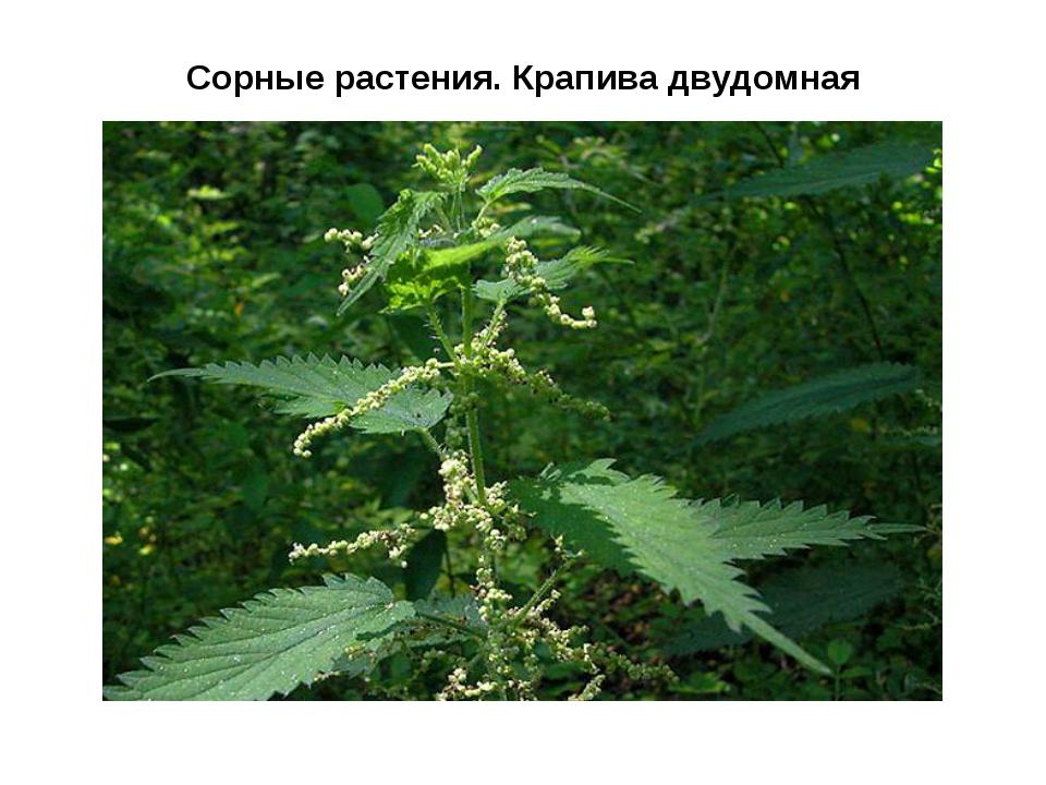 Сорные растения. Крапива двудомная