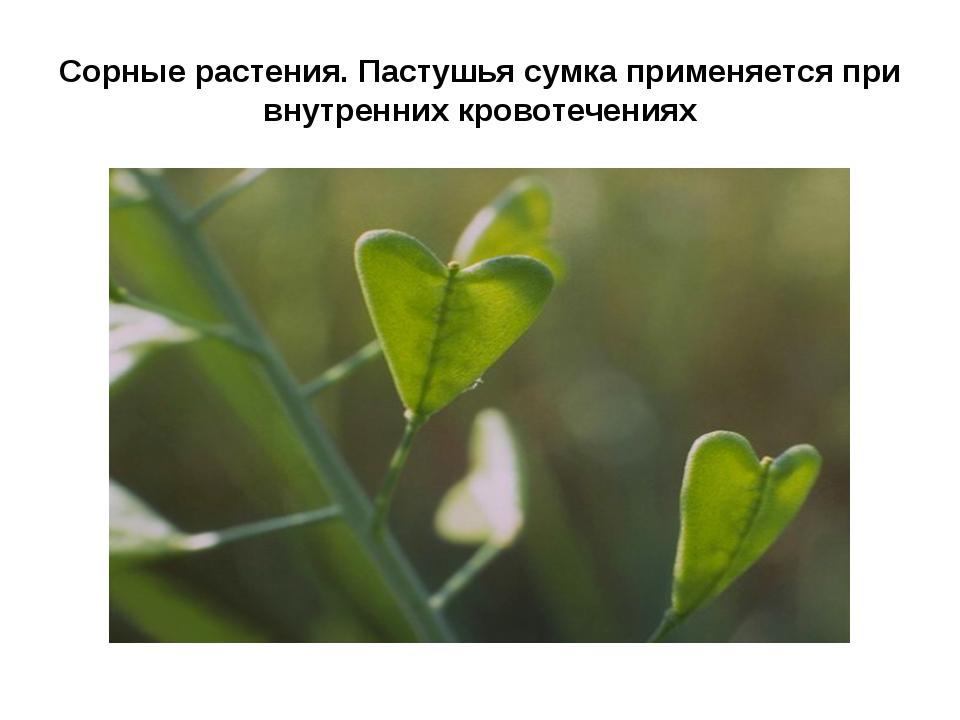 Сорные растения. Пастушья сумка применяется при внутренних кровотечениях