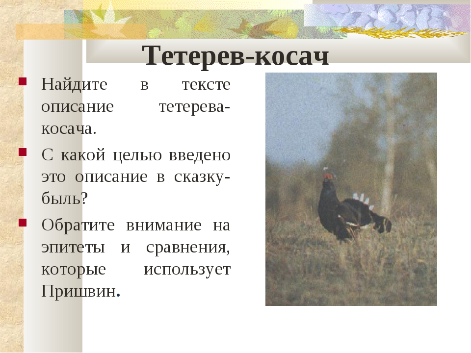 Тетерев-косач Найдите в тексте описание тетерева-косача. С какой целью введен...
