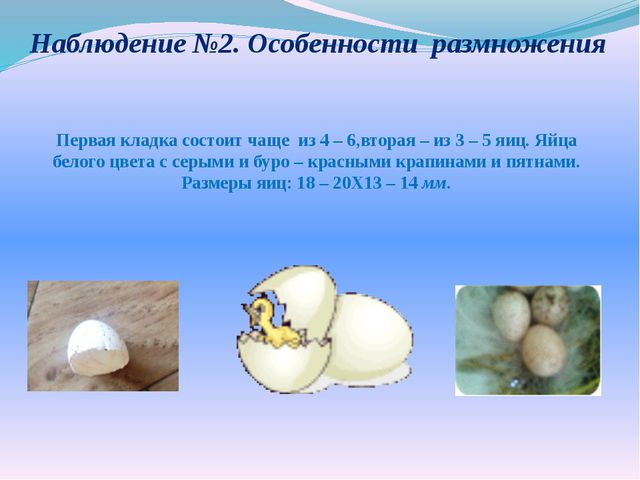 Наблюдение №2. Особенности размножения Первая кладка состоит чащеиз 4 – 6,в...