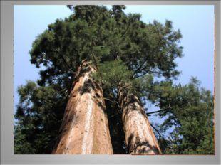 секвойя Хвойные деревья Северной Америки – секвойи, так же, как и эвкалипт до
