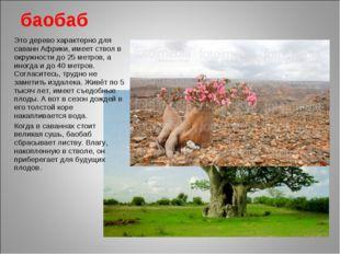 баобаб Это дерево характерно для саванн Африки, имеет ствол в окружности до 2