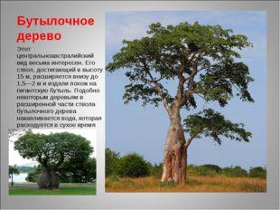 Бутылочное дерево Этот центральноавстралийский вид весьма интересен. Его ство
