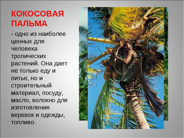 КОКОСОВАЯ ПАЛЬМА - одно из наиболее ценных для человека тропических растений....