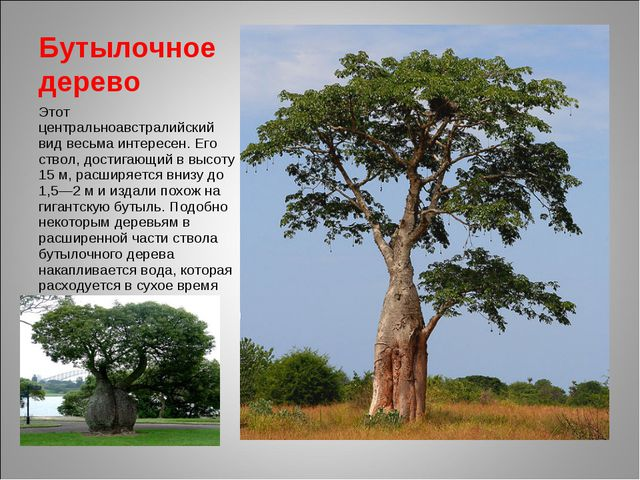 Бутылочное дерево Этот центральноавстралийский вид весьма интересен. Его ство...