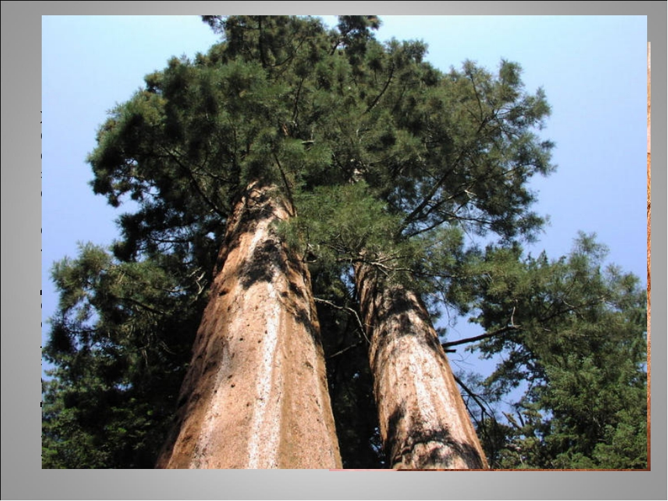 секвойя Хвойные деревья Северной Америки – секвойи, так же, как и эвкалипт до...