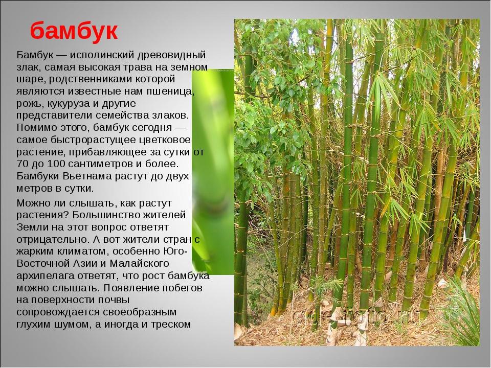 бамбук Бамбук — исполинский древовидный злак, самая высокая трава на земном ш...