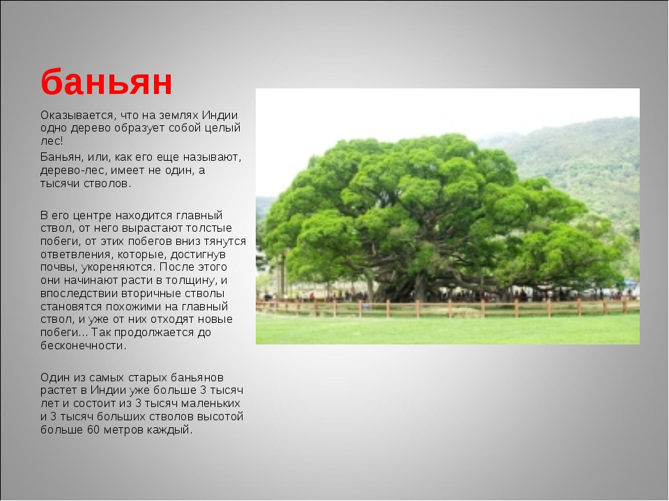 баньян Оказывается, что на землях Индии одно дерево образует собой целый лес!...