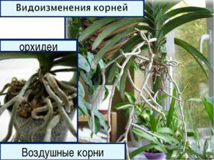 Воздушные корни орхидеи