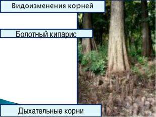 Болотный кипарис Дыхательные корни