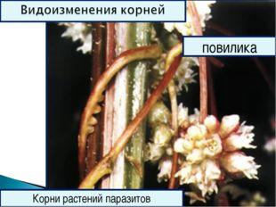 омела Корни растений паразитов повилика