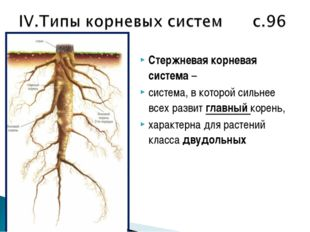 Стержневая корневая система – система, в которой сильнее всех развит главный