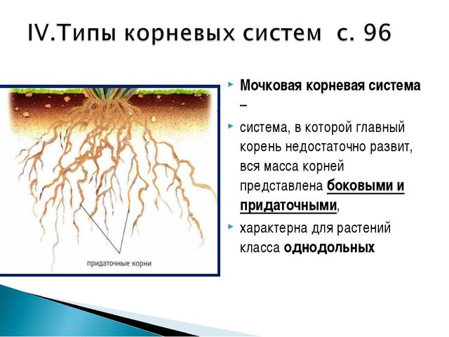 Мочковая корневая система – система, в которой главный корень недостаточно ра...