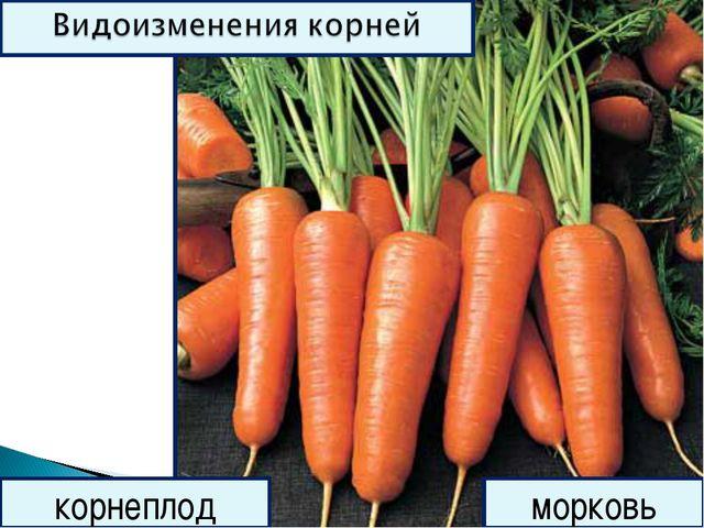 корнеплод морковь