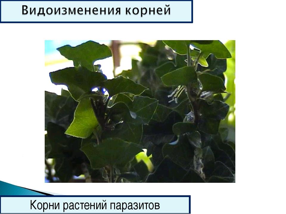 Корни растений паразитов