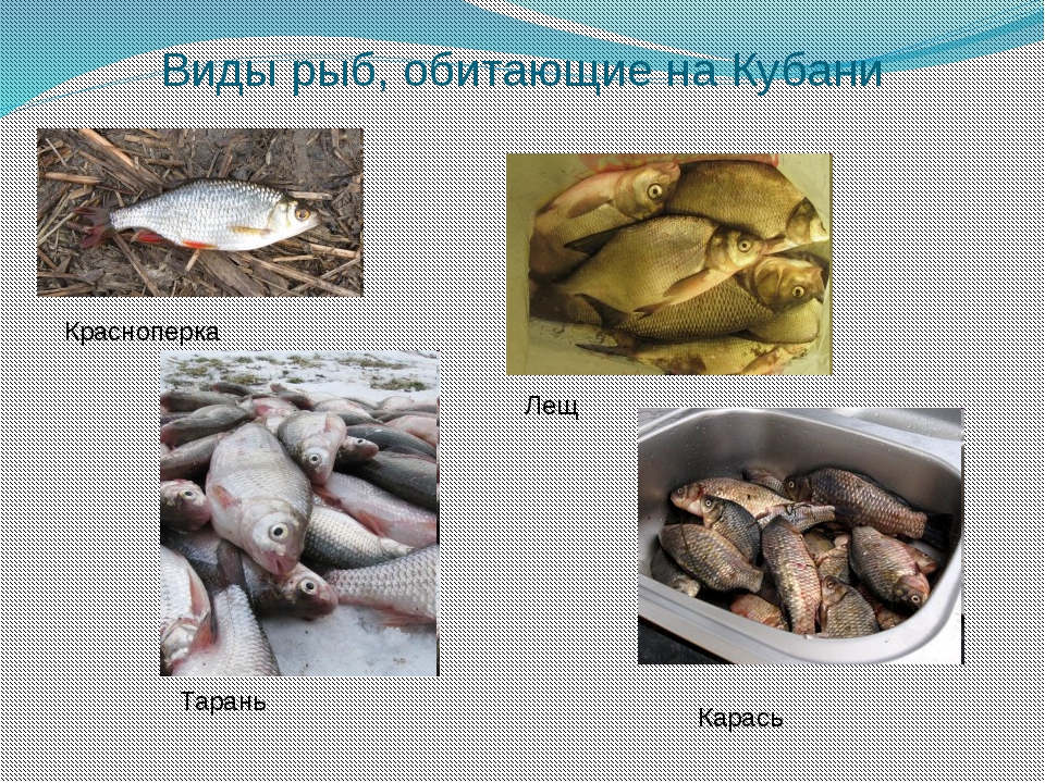 Виды рыб, обитающие на Кубани Красноперка Лещ Тарань Карась