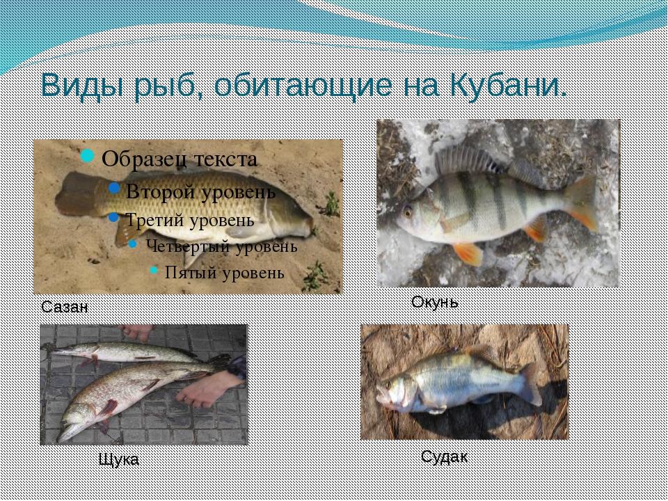 Виды рыб, обитающие на Кубани. Сазан Окунь Щука Судак
